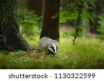 badger in forest  animal in... | Shutterstock . vector #1130322599