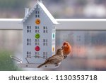 house finch with young chicks   Shutterstock . vector #1130353718