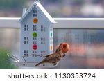 house finch with young chicks   Shutterstock . vector #1130353724