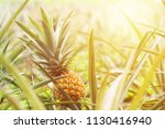 close up ripe pineapple fruit...   Shutterstock . vector #1130416940