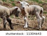 baby lambs | Shutterstock . vector #11304643