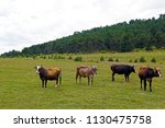 scenes of different color cows... | Shutterstock . vector #1130475758