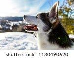 Close Up Of An Alaskan Husky On ...