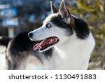 Alaskan Husky Dog Enjoying The...