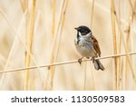 closeup of a common reed... | Shutterstock . vector #1130509583
