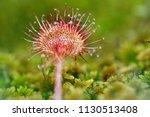 round sundew  drosera...   Shutterstock . vector #1130513408