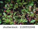 tropical pitcher carnivorous...   Shutterstock . vector #1130552048