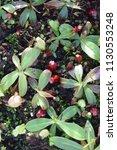 tropical pitcher carnivorous...   Shutterstock . vector #1130553248