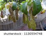 tropical pitcher carnivorous...   Shutterstock . vector #1130554748