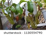 tropical pitcher carnivorous...   Shutterstock . vector #1130554790