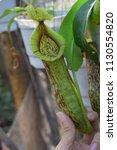 tropical pitcher carnivorous...   Shutterstock . vector #1130554820