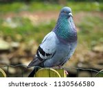Closeup Of A Gray Pigeon In The ...