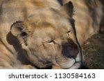 Wild White Lion Close Up...