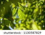 summer leaves natural light...   Shutterstock . vector #1130587829