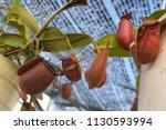 tropical pitcher carnivorous...   Shutterstock . vector #1130593994