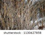 house finch   oiseaux   Shutterstock . vector #1130627858