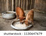 two red pigs of duroc breed eat ... | Shutterstock . vector #1130647679