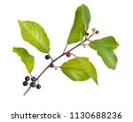 frangula alnus  commonly known... | Shutterstock . vector #1130688236