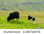 black sheep and lamb looking to ... | Shutterstock . vector #1130726576