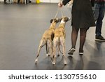 two sighthound breed dogs ...   Shutterstock . vector #1130755610