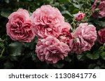 Stock photo garden with fresh pink roses floral natural hipster vintage background 1130841776