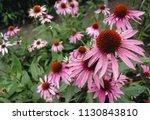 Echinacea purpurea flowers in...