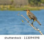 Female Grackle On Twig At...