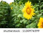 yellow field of sunflowers.... | Shutterstock . vector #1130976599