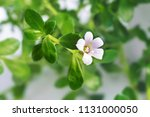 bacopa monnieri herb plant and... | Shutterstock . vector #1131000050