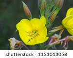 close up of the flower of... | Shutterstock . vector #1131013058