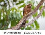 kestrel in natural environment. | Shutterstock . vector #1131037769