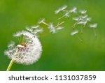 dandelion on green background | Shutterstock . vector #1131037859