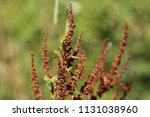 rumex obtusifolius  commonly... | Shutterstock . vector #1131038960