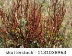 rumex obtusifolius  commonly... | Shutterstock . vector #1131038963
