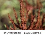 rumex obtusifolius  commonly... | Shutterstock . vector #1131038966
