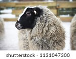 portrait of romanov breed sheep.... | Shutterstock . vector #1131047300
