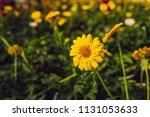 flower cultivation in... | Shutterstock . vector #1131053633