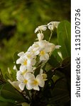 bouquet of white plumeria... | Shutterstock . vector #1131070736