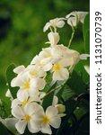 bouquet of white plumeria... | Shutterstock . vector #1131070739