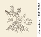 buckwheat  plant and  buckwheat ... | Shutterstock .eps vector #1131153200
