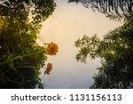 beautiful yellow cosmos flower  ... | Shutterstock . vector #1131156113