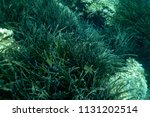 sea grass at the bottom of the... | Shutterstock . vector #1131202514