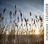 reeds against a blue sky in... | Shutterstock . vector #1131205328
