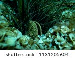 giant clam at the bottom of the ... | Shutterstock . vector #1131205604