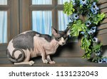 white with gray cat sphinx on... | Shutterstock . vector #1131232043