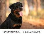 Dog Of The Rottweiler Breed On...