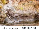 Beautiful Bighorn Sheep...
