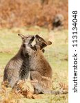 two wallabies are playing... | Shutterstock . vector #113134048