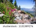 Mountain Pride  Penstemon...