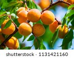 ripe apricots on a tree branch | Shutterstock . vector #1131421160